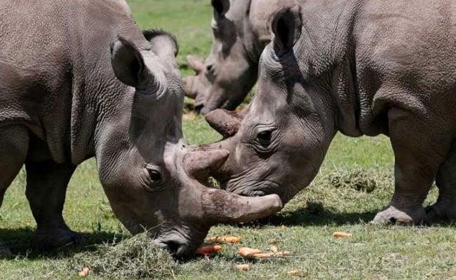 Beautiful Embryos Created artificially From Near-Extinct Rhinoceros Sperm