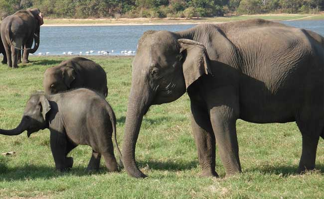 Train In Sri Lanka Kills Three Elephant Calves