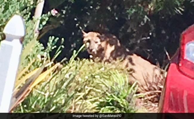 Mountain Lion Captured From Backyard After 6-Hour Neighbourhood Lockdown