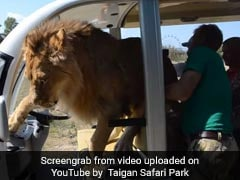 Watch: Lion Jumps Into Vehicle Full Of Tourists In Crimea
