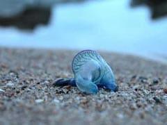 मुंबई के बीच पर ज़हरीली ब्लू बॉटल जेलीफिश का हमला, 150 से ज़्यादा ज़ख्मी