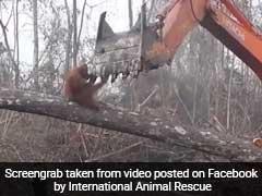 Orangutan Fights Bulldozer Pulling Down Tree In Heartbreaking Viral Video