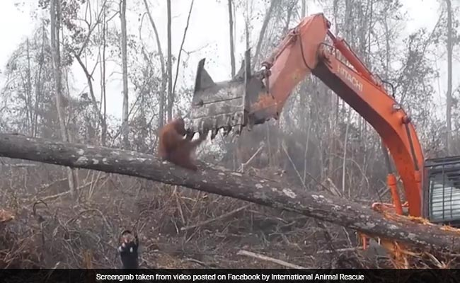 Orangutan Fights Bulldozer Pulling Down Tree In Heartbreaking Viral Video