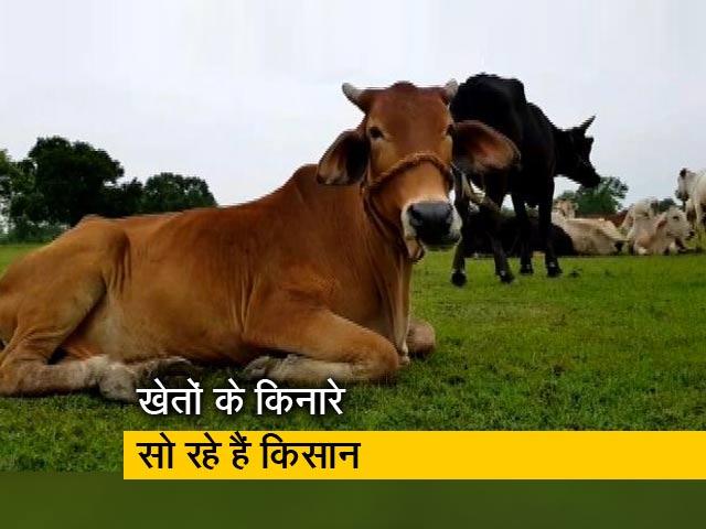 Videos : उत्तर प्रदेश : आवारा पशुओं की वजह से किसान परेशान