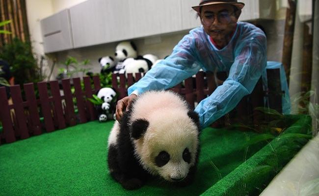 panda malaysia zoo afp