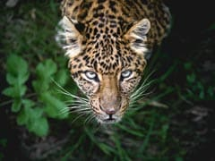 Leopard In Maharashtra, Suspected To Have Killed 2 People, Tranquilised