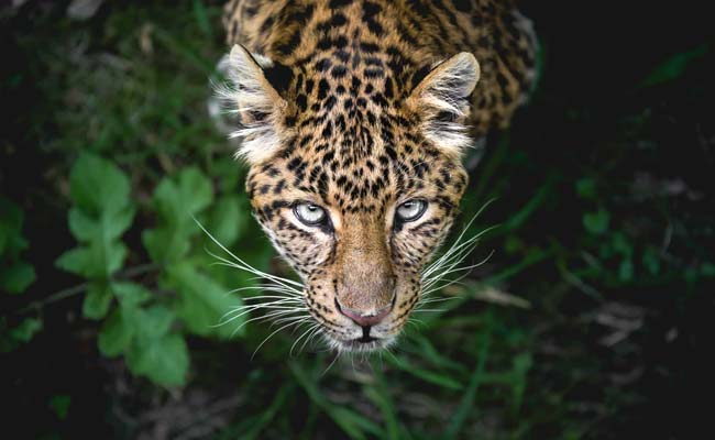 Female Panther Dies In Hyderabad Zoo Due To Bronchitis, Old Age