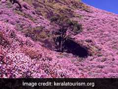 Kerala's Munnar Gets Ready For Rare Flower Show After 12 Years