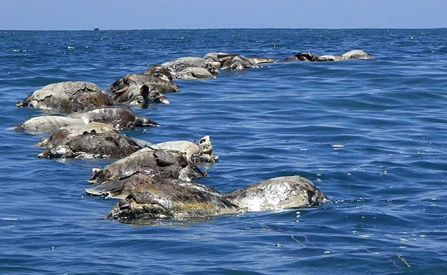 300 endangered turtles found dead off Mexico beach