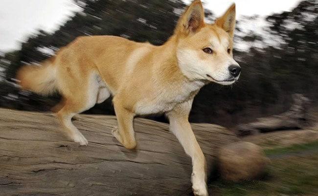6-Year-Old Boy Attacked, Bitten By Dingo At Australia's Fraser Island