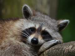 US Teacher Accused Of Drowning Raccoons In Class Placed On Leave