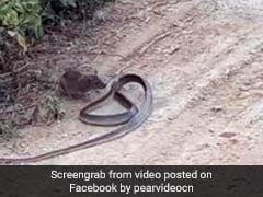 बीच रोड पर चूहे और सांप की हुई लड़ाई, Video में देखें खतरनाक जंग