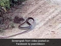 Rat Fights Snake In Intense Video. The End May Leave You Surprised
