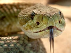 Man Killed 4-Foot Rattlesnake. Then, Dead Snake's Severed Head Bit Him