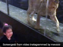 Lion Kept Inside Glass Enclosure At Istanbul Cafe Draws Online Outrage