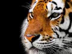 India Has Taken Several Measures To Protect Tigers: Environment Minister