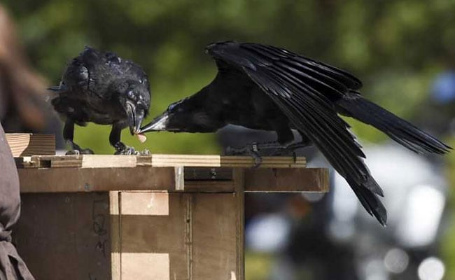 Crows Trained To Pick Up Litter Are This Theme Park's Star Attraction