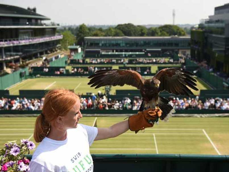 New Roof Means Double Trouble For Wimbledon Hawk