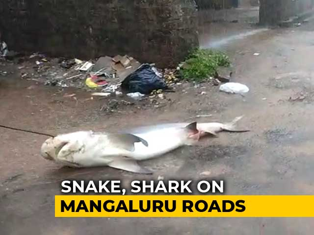 Video : Watch Shark, 5 Foot Snake On Flooded Mangaluru Streets After Heavy Rain