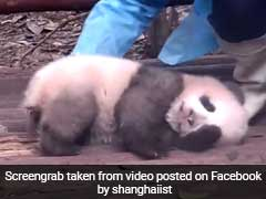 This Panda Struggling To Wake Up Is All Of Us Every Monday Morning