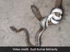 3-Foot Snake Attacks Snake Twice Its Size In Odisha. Watch If You Dare