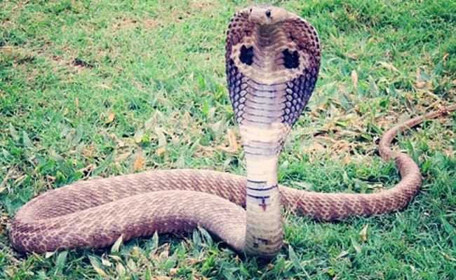 5-Foot Long Rat Snake Found In NCERT Campus In Delhi