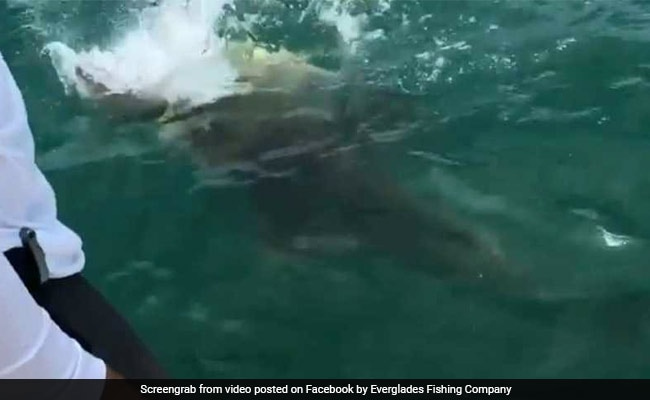 In Incredible Video, Giant Fish Swallows Shark As Shocked