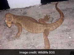 Four-Foot-Long Distressed Monitor Lizard Found In Delhi