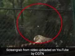 Visitors At China Zoo Throw Rocks At Tiger. Horrifying Video Is Viral
