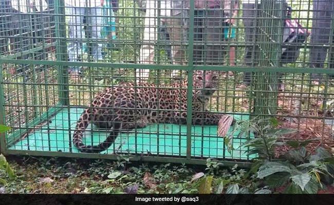 Leopard That Killed Several Dogs At Village Trapped In Karnataka's Udupi