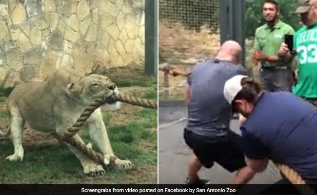 3 WWE Wrestlers Vs A Lion Cub: Can You Guess Who Won This Tug Of War?