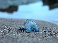 Over 150 Injured In Blue Bottle Jellyfish Attacks At Mumbai Beaches