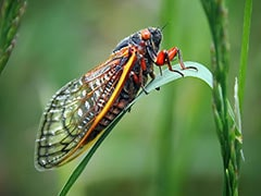In France, Tourists Complain Of Cicadas Being 'Too Loud', Creating A 'Racket'