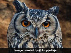 Timely Action By Agra Man Helps Save Rare Indian-Eagle Owl