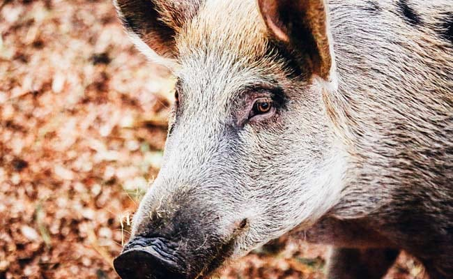 Assam Prepares For Culling As African Swine Fever Kills Nearly 15,000 Pigs