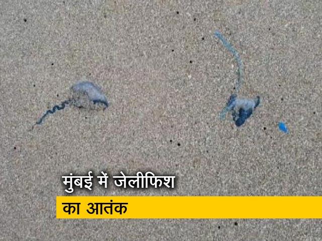 Videos : मुंबई के बीच पर ब्लू बॉटल जेलीफिश का आतंक, 150 से अधिक लोगों को किया घायल