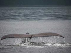 Over 120 Pregnant Minke Whales Killed In Japan's Latest Annual Hunt