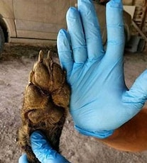 Bigfoot? Dogman? Authorities Have No Idea What This Wolf-Like Creature Is