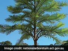 Tree, Thought To Be Extinct 2 Million Years Ago, Now Grown In Australia